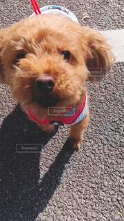 小さな茶色の犬の写真・画像素材[4348880]