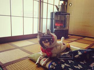 冬,チワワ,わんこ,正月,和室,たたみ,畳,ストーブ,暖かい,お正月,眠い,愛犬,こたつ,座布団,うとうと,だらだら,コタツ,ぬくぬく,三ヶ日