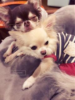 犬,チワワ,かわいい,仲良し,わんこ,可愛い,おやすみ,眠たい,ねんね,イヌ,ワンコ,親バカ