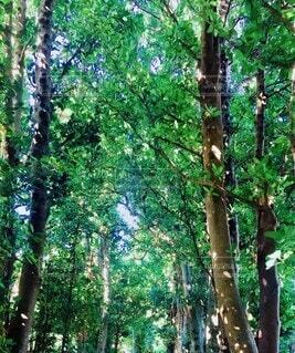 自然,森林,木,晴れ,マイナスイオン,フクギ並木