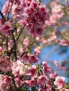 風景,花,春,桜,景色,桜の木,ブロッサム,桜の花びら