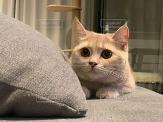 猫,動物,屋内,かわいい,室内,遊ぶ,ソファー,元気,まん丸,ネコ科,狙う猫