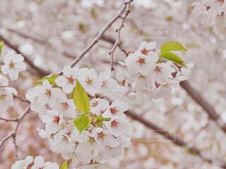 桜の花の写真・画像素材[4231444]