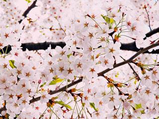 満開の桜の写真・画像素材[4271740]