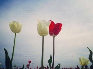 空,花,チューリップ,愛