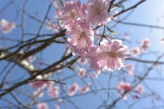 空,春,桜,屋外,日差し,樹木,草木,桜の花,さくら,ブルーム,ブロッサム