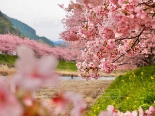 花,春,屋外,ピンク,川,樹木,旅行,静岡,河津桜,桜の花,東海,さくら,ブロッサム,春らしい