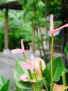 花,屋外,ピンク,樹木,草木,アンスリウム,ベニウチワ