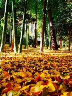 秋,紅葉,屋外,黄色,葉,オレンジ,樹木,竹林,落葉,草木