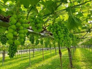 かわいいかわいい葡萄さん達の写真・画像素材[4112011]
