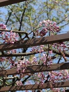 花,春,屋外,ピンク,紫,藤,樹木,藤棚,藤の花
