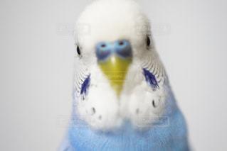 ペット,インコ,小鳥,青い鳥,スパングル