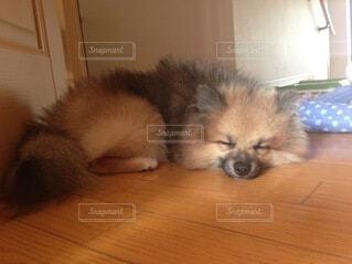 犬,動物,ポメラニアン,かわいい,ペット,子犬,お昼寝