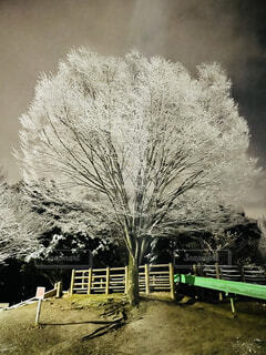 冬,夜,夜景,雪,屋外,緑,雪景色,樹木,寒い,雪化粧