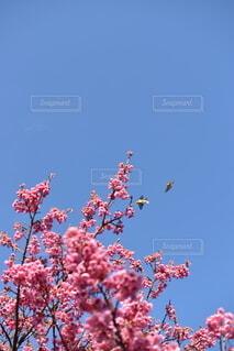 空,花,メジロ,草木,土肥桜,メジロと桜の蜜,南伊豆の桜,1月の桜