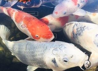 動物,魚,水面,池,景色,泳ぐ,日本,和,金魚,縁起,鯉,魚の群れ,鯉の群れ
