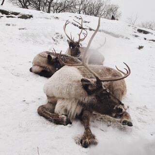 雪の上のトナカイの写真・画像素材[4137441]