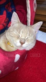 眠り猫の写真・画像素材[4115677]