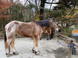動物,屋外,樹木,癒し,馬,地面,動物園,サファリパーク,ポニー,乗馬,干し草,ベテラン