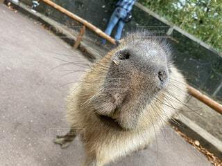 動物,屋外,かわいい,癒し,地面,動物園,鼻,サファリパーク,カピバラ