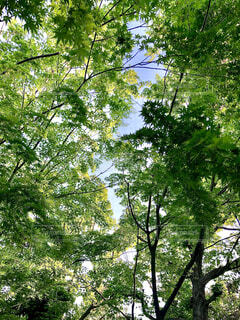 自然,風景,空,屋外,緑,葉,樹木,新緑,草木,頭上,見上げたら