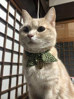 猫,動物,ペット,子猫,癒し,座る,可愛い,泥棒,首輪,ネコ科,猫部,猫好き,小判,泥棒猫,猫に小判