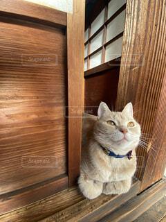 猫,動物,かわいい,ペット,子猫,癒し,座る,可愛い,和,和風,アメリカンショートヘアー,見つめる,アメショ