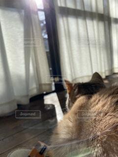 猫,風景,動物,屋内,太陽,かわいい,ペット,床,子猫,可愛い,見つめる,ひだまり,陽だまり,猫派,いやし,猫部,猫好き,カワイイ