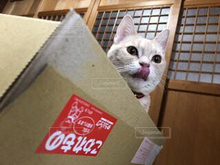 ダンボール猫の写真・画像素材[4151239]
