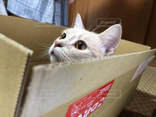 ダンボール猫の写真・画像素材[4155219]