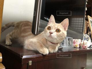 猫,動物,屋内,ペット,テレビ,アメリカンショートヘアー,目,アメショ,覗く,耳,猫部,猫好き,めす