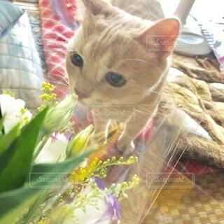猫,花,葉,ペット,癒し,可愛い,好き,アメリカンショートヘアー,目,アメショ,耳,猫部,猫好き,めす