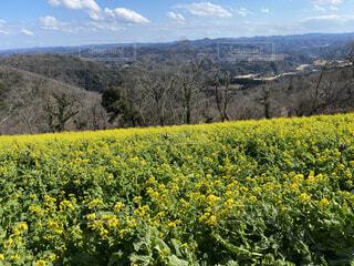 自然,風景,空,花,絶景,木,屋外,綺麗,黄色,菜の花,山,景色,樹木,草木