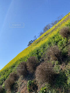 自然,風景,空,花,木,屋外,緑,綺麗,菜の花,景色,樹木,草木,山腹