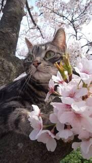猫,花,春,桜,動物,屋外,樹木
