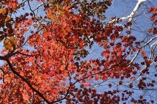 空,公園,秋,紅葉,森林,屋外,山,景色,樹木,山梨県,落葉,草木