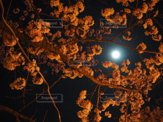 空,春,秋,桜,ピンク,暗い,夜桜,樹木,月,月の光