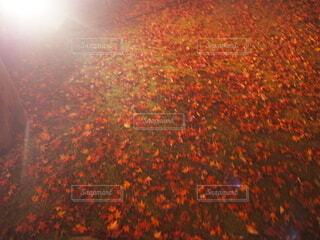 自然,秋,紅葉,屋外,もみじ,オレンジ,草,落ち葉,ライトアップ