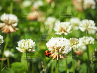 花,春,動物,屋外,昆虫,てんとう虫,草木,シロツメグサ,フローラ