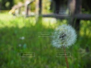 自然,花,春,草,生命,草木,わたげ,タンポポ