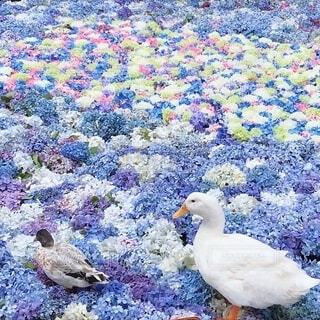 水面に浮かぶ紫陽花とアヒルの写真・画像素材[4172629]