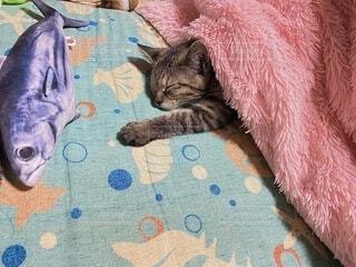 猫,冬,動物,屋内,かわいい,子猫,キジトラ,サバ,コタツ