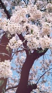 花,春,桜,木,青空,花見,満開,樹木,日本,草木,桜の花,4月,さくら,ブルーム,ブロッサム