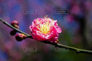 自然,花,ピンク,梅,生命,儚い,梅の花,華,ブルーム,フローラ,一輪の華