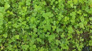 屋外,緑,葉,クローバー,草木,ガーデン