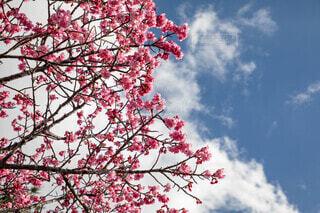 空,花,桜,屋外,青空,花見,草木,寒緋桜