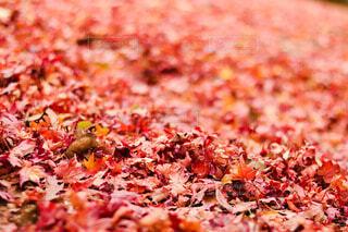 自然,公園,秋,紅葉,屋外,赤,葉,鮮やか,オレンジ,野外,絨毯,落葉,カエデ