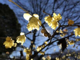 空,花,春,黄色,影,樹木,草木,蝋梅,早春,ブロッサム
