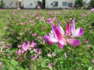 花,春,屋外,ピンク,草,草花,れんげ,flower,蓮華,蓮華畑,草木,レンゲ,レンゲ草
