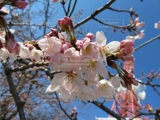 空,花,春,桜,屋外,ピンク,晴れ,青,青い空,樹木,快晴,草木,桜の花,さくら,ブルーム,ブロッサム